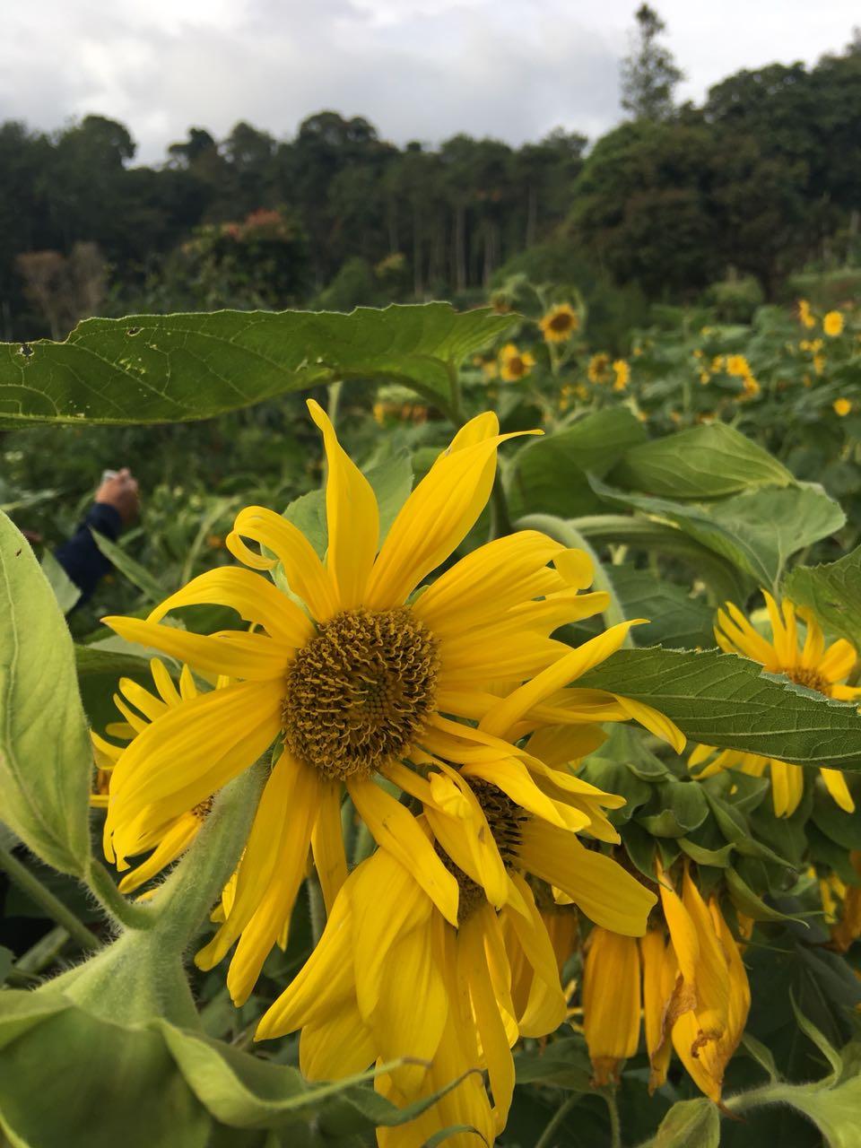 bunga matahari oray tapa