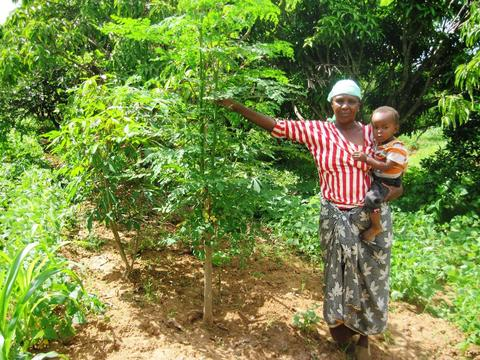 moringatree large