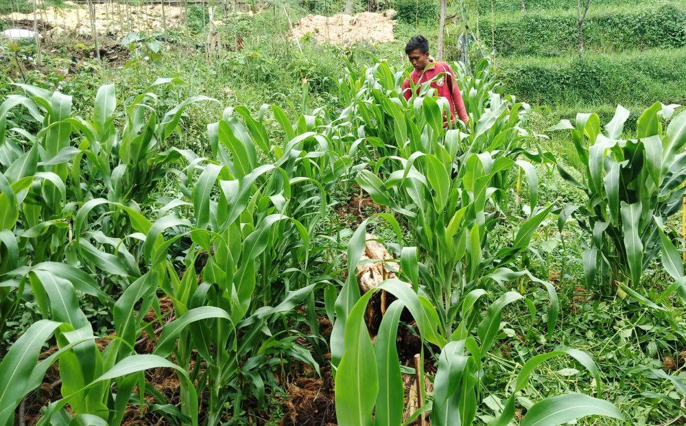 Yayan Hadian, petani muda pengembang sorgum, hanjeli dan kelor secara organik.