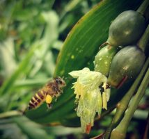 lebah hanjeli