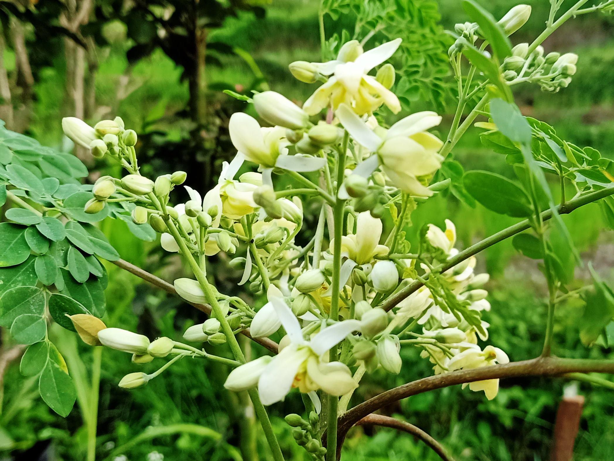 Bunga Kelor Memiliki Manfaat Besar bagi kesehatan