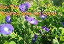 Blue Tea (Bunga Telang) Manfaat untuk Anak dan Lansia