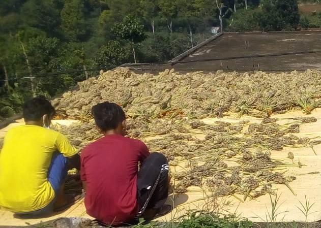 Sorgum bandung manfaat beras