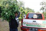 panen kelor manfaat budidaya tanaman herbal odesa jual kelor moringa